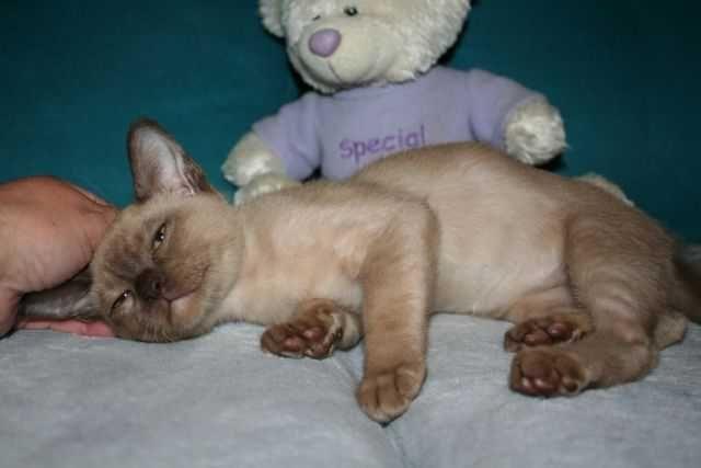 kocurek Kocięta  burmskie  -rodowód terapeuta felinoterapia