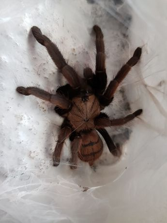 Pająk Ptasznik Chilobrachys fimbriatus L3