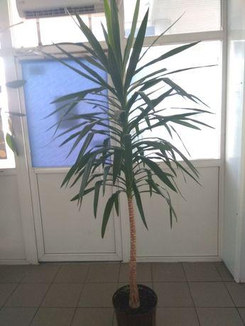 Шикарна пальма юкка