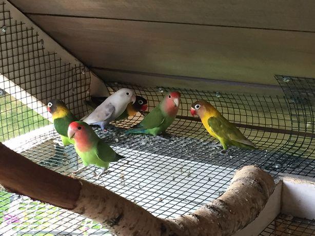 Papuzki nierozłaczki