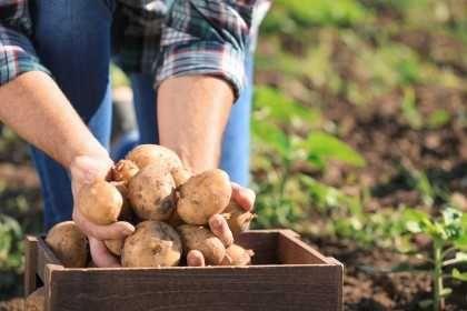 Ziemniaki do Gotowania Prosto od Gospodarza