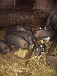 В'єтнамські свині