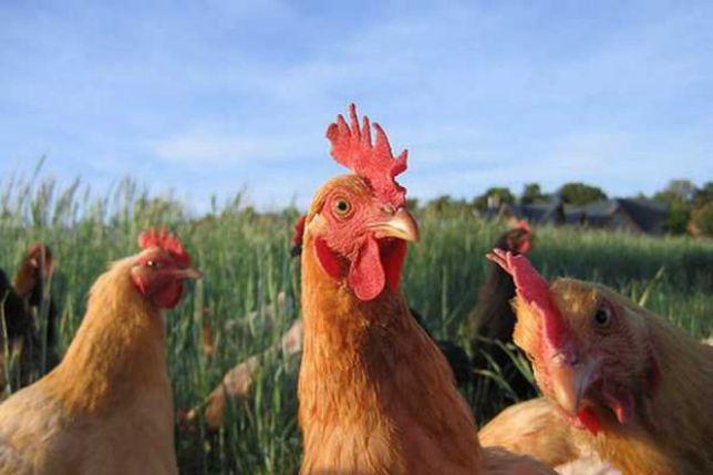 Świeże Jaja wiejskie Eko