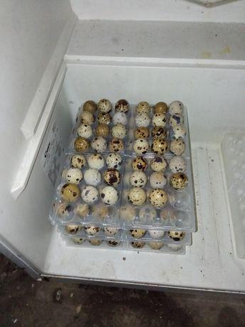 Ovos de codernizes galinha raça Brahma, malines e castanhas portuguesa
