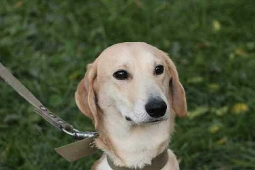 Люся, послушная собака, возраст 1,5 года