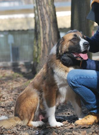 Saba - suka w typie bernardyn/moskiewski pies stróżujący