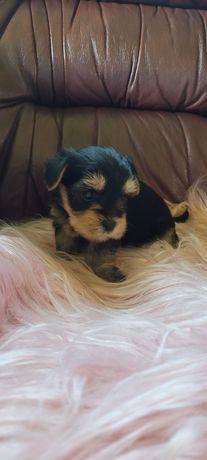 Yorkshire terrier :)