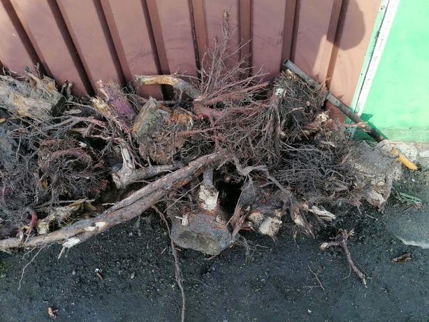 Korzenie drzew za darmo