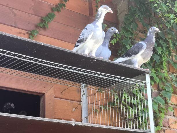 Oddam gołębie staropolskie