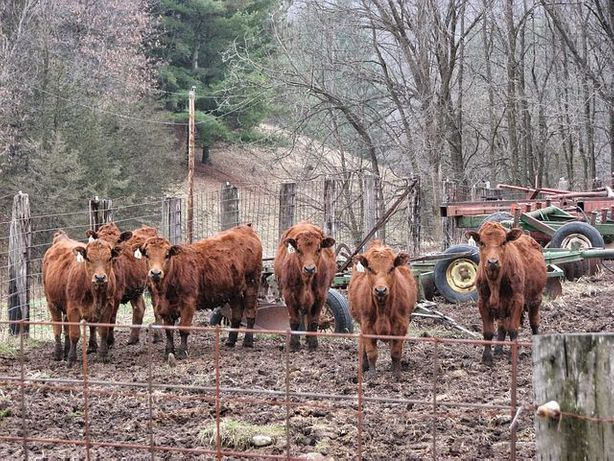 Łomża byczki i jałoszki