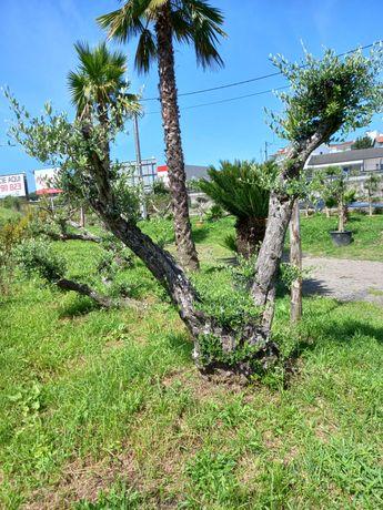 CAMPANHA 2021/2022 – Oliveiras! / Plantas / Árvores / Jardim
