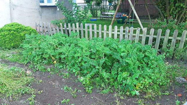 Oddam za darmo jarmuż ekologiczny z własnego ogrodu