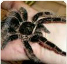 паук птицеед+субстрат корм пинцет набор подарок brachypelma albopilo