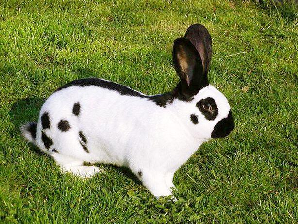 Продам кролика Породисті !!!