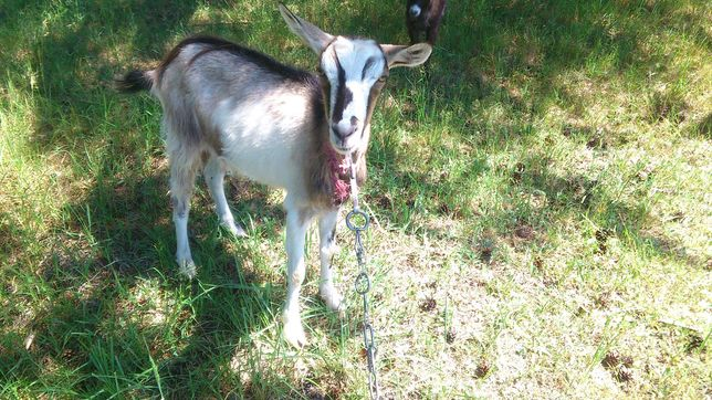 Młoda Koza (1.5r)