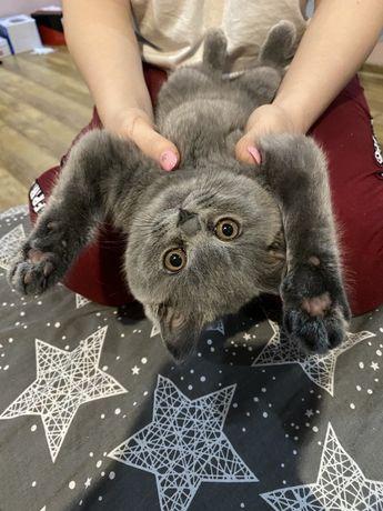 Ирландская кошка , Скотиш фолд