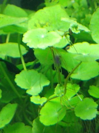 Rośliny akwariowe/roślina do akwarium/hydrocotyle leucocephala
