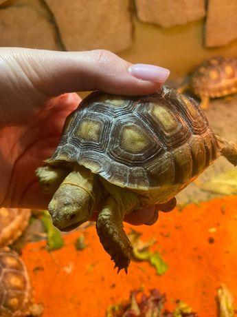 Сухопутная шпороносная черепаха малыши, сухопутные черепахи редкие