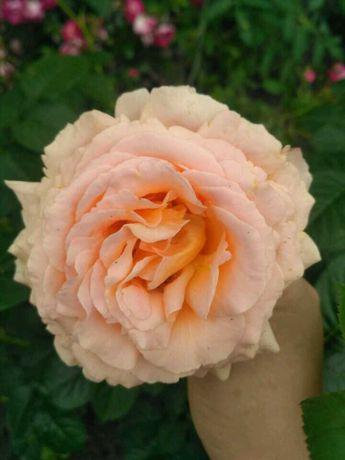 Розы, саженцы роз