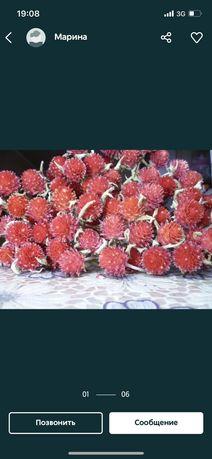 Сухоцветы Гомфрена, Целозия
