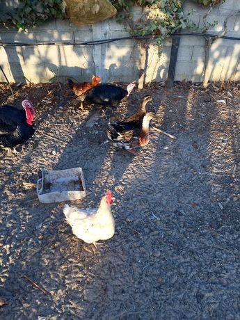 Patos,galos,galinhas,perus e coquichos para venda