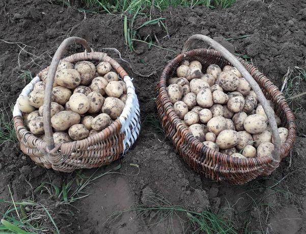 Ziemniaki EKO z certyfikowanego gospodarstwa ekologicznego