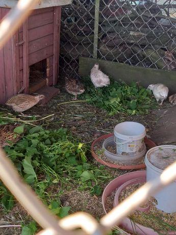 Przepiorki faraon z jajkiem