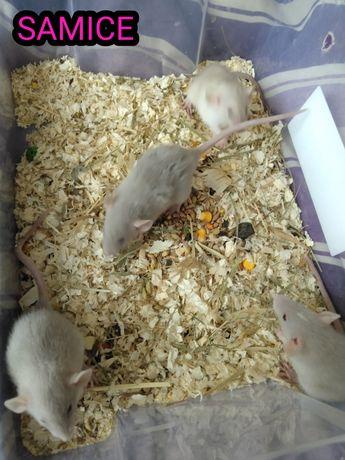 Szczurki Dumbo Rasowe młode