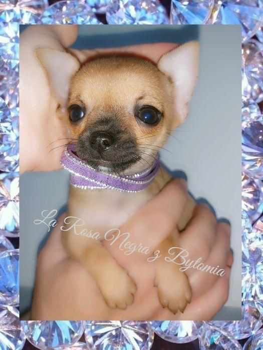 ••• SUCZKA •••  Chihuahua beżowa mini-mini Katowice - image 1