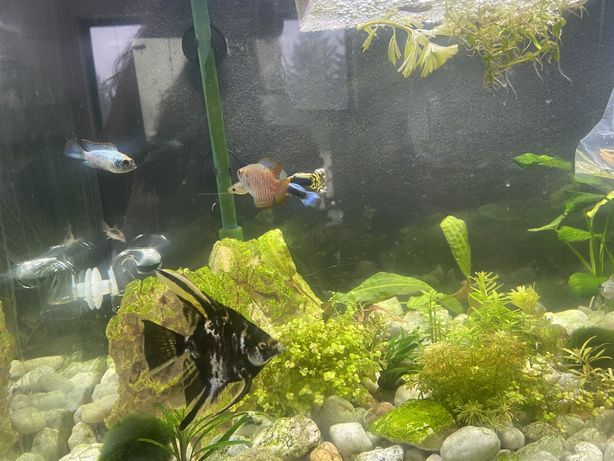 Skalar, Ryby, akwarium