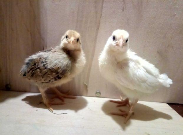 Цыплята ( курчата ) мясо-яичных домашних кур