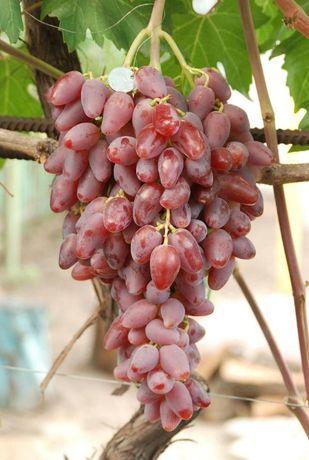 Черенки винограда,около 30 столовых сортов.