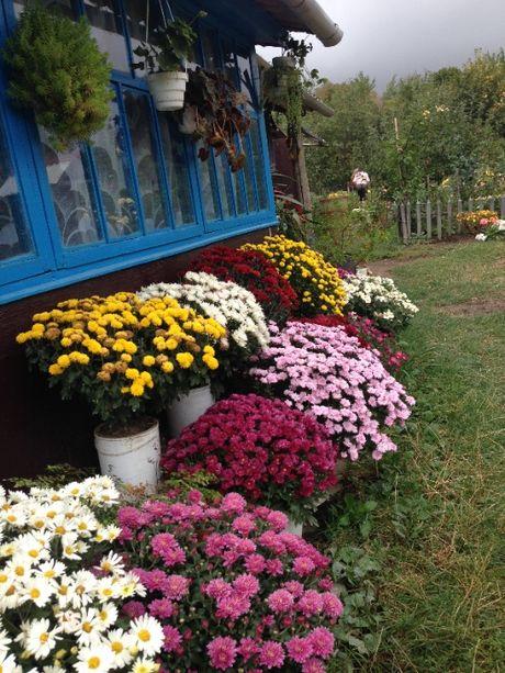 продаю хризантемы