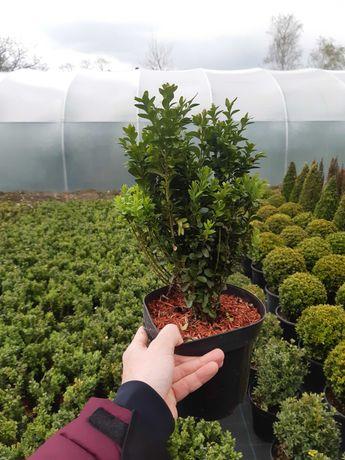 Bukszpan wieczniezielony buxus - sadzonki ok 35-40cm w doniczkach C3