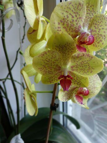 Орхидея реанимация