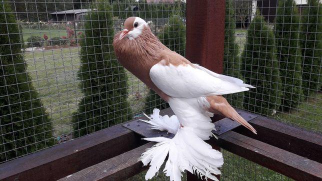Gołębie ozdobne Garłacze czeskie