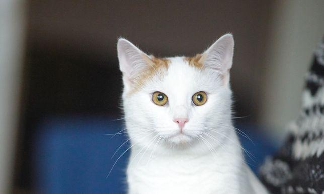 Красивый белый кот с рыжими ушками и хвостом