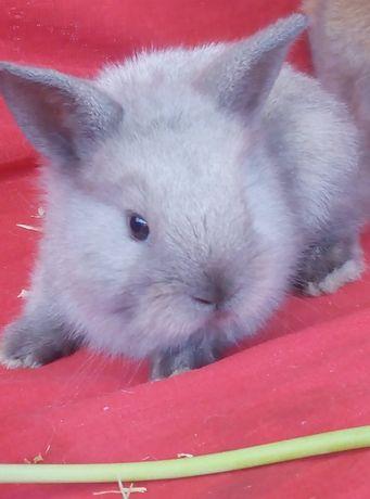 декоративные кролики миники