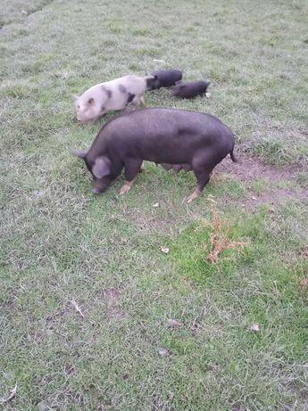 Świnie wietnamki knurki i maciora