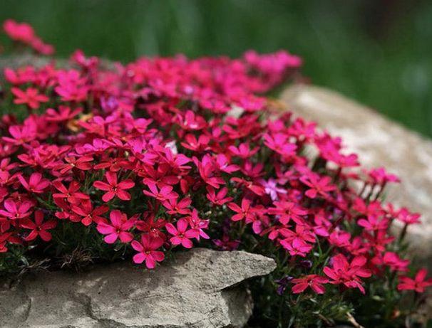 """Флокс шиловидный """"Red Wings""""темно-малиновые цветы с пурпурным глазиком"""
