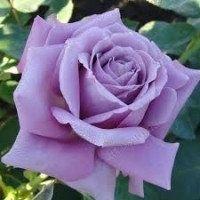 Саженцы роз плетнистых чайных бардюрных