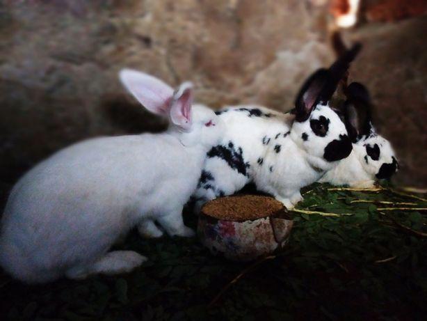 Продаю кроликов .