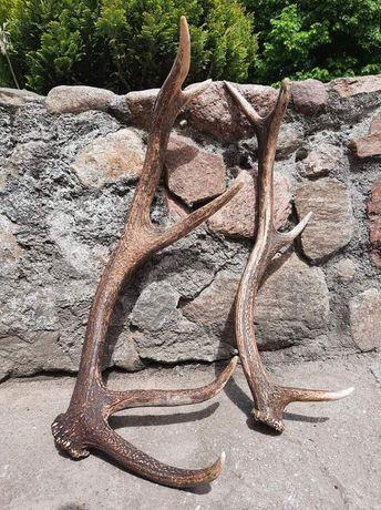 Poroże jelenia 1,8 kg / SPRZEDANE