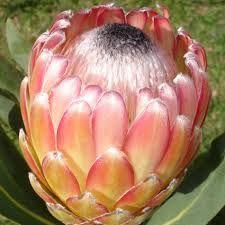 Vendo plantas de proteas Susara