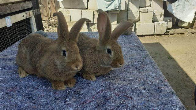 Młode króliki...