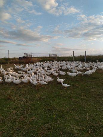 kaczki  gęsi wolny wybieg