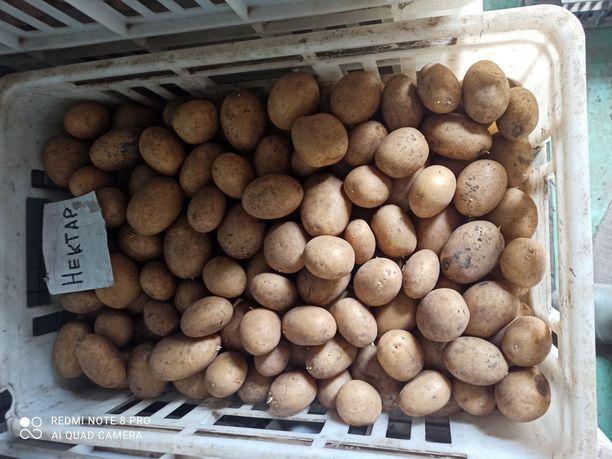 Картошка(картофель)