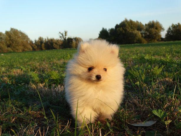 Szpic miniaturowy Pomeranian ZKwP FCI