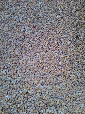 kukurydza mielona ccm oraz całe ziarno