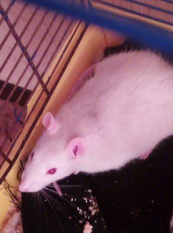 Отдам даром крысу в хорошие бесплатно.